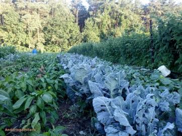 ogród organiczny/mi huerta organica en Polonia
