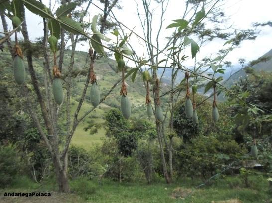 owoc męczennicy miękiej w gospodarstwie organicznym w Caqueza, Kolumbia/La fruta de curuba en la finca organica en Caqueza, Colombia