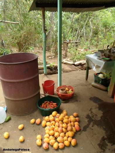 mango i owoce nerkowca prosto z krzaka, bez chemii w Masatepe,Nicaragua/Mango y marañon directamente del àrbol sin ningunos quimicos, Masatepe, Nicaragua