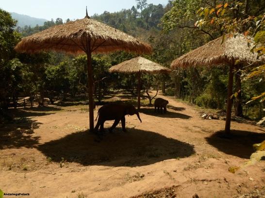 Słonie w Tajlandii,Chiang Mai przywiązane na krótkim sznurku do palików z ograniczoną możliwością ruchów/Los elefantes en Tailandia, Chiang Mai, con las cortitas cuerdas, in limitado movimiento